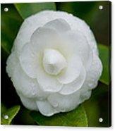 White Camellia Acrylic Print