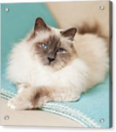 White Cat On Blue Blanket Acrylic Print by MariaR