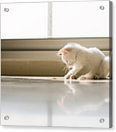 White Cat Playing On The Floor Acrylic Print by Jose Torralba