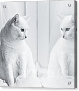White Cat Reflected In Window Acrylic Print by Vilhjalmur Ingi Vilhjalmsson