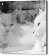 White Cat Reflection With Fly Acrylic Print