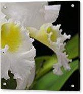 White Cattleya Close-up Acrylic Print