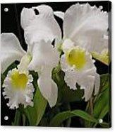 White Cattleyas Acrylic Print