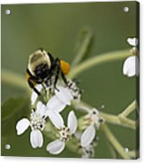 White Crownbeard Wildflowers Pollinated By A Bumble Bee With His Bags Packed Acrylic Print