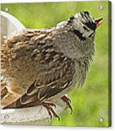 White Crowned Sparrow Sends A Warning Acrylic Print