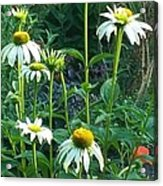 White Daisies And Garden Flowers Acrylic Print
