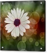 White Daisy In A Sunset Acrylic Print