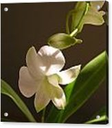 White Dendrobium 2 Acrylic Print