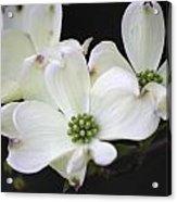 White Dogwood Blossoms Acrylic Print