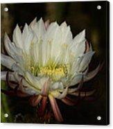 White Echinopsis  Acrylic Print