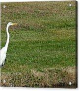 White Egret Crane Acrylic Print