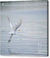 White Egret Flying Acrylic Print