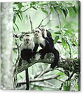 White-faced Capuchins Acrylic Print