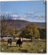 White Faced Cattle In Autumn Acrylic Print
