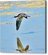 White Faced Ibis In Flight Acrylic Print