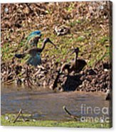 White-faced Ibis Mating Behavior In Early Spring Acrylic Print