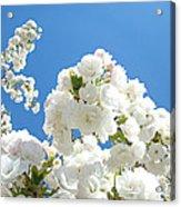 White Floral Blossoms Art Prints Spring Tree Blue Sky Acrylic Print
