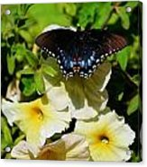 White Flower Butterfly Acrylic Print