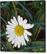 White Flower On The Fence Acrylic Print