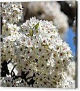 White Flowering Tree Floral Acrylic Print