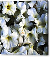 White Flowers At Dusk Acrylic Print