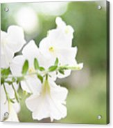 White Flowers In Summer Acrylic Print