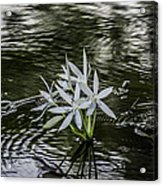 White Flowers In The Stream Acrylic Print