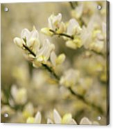 White Fragrant Flower Close Up Acrylic Print by by Samia Mohammed