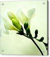 White Freesia Acrylic Print