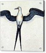 White: Frigate Bird Acrylic Print