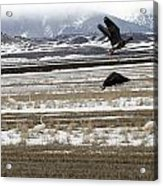 White Fronted Goose - 0015 Acrylic Print