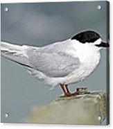 White-fronted Tern Acrylic Print