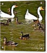 White Geese And Ducks Acrylic Print