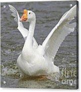 White Goose Acrylic Print