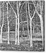 White Grove Acrylic Print