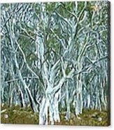 White Gum Forest Acrylic Print