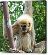 White Handed Gibbon Acrylic Print