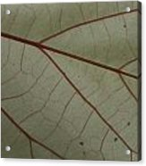 White Hau Leaf With Red Veins Acrylic Print