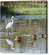 White Heron And Baby Ducks Acrylic Print