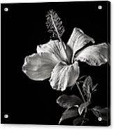 White Hibiscus Inn Black And White Acrylic Print