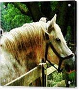 White Horse Closeup Acrylic Print