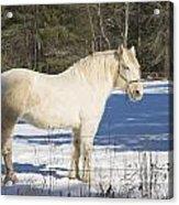 White Horse In Winter Maine Acrylic Print