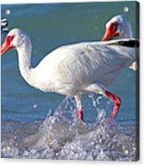 White Ibis On The Shore Acrylic Print