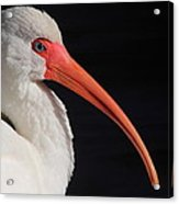 White Ibis Portrait Acrylic Print