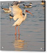White Ibis With Wings Raised Acrylic Print