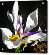 White Iris  Acrylic Print by Daniele Smith