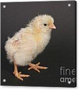 White Leghorn Chick Acrylic Print
