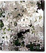 White Lilacs Acrylic Print