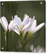 White Lily - Symbol Of Purity Acrylic Print