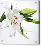 White Lily And Buds Acrylic Print